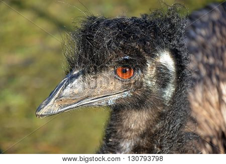 Australian Emu in profile having a bad hair day