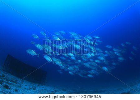 Shoal Bigeye Jack fish in ocean