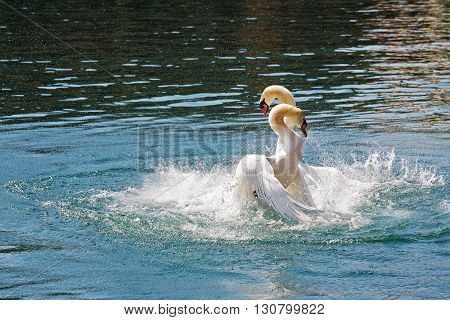Two dominant swans fighting for position on the waters of Reuss river in the city of Lucerne Switzerland.