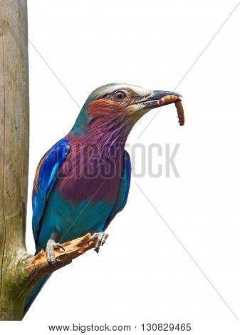 Lilac-breasted roller (Coracias caudatus) sitting on a branch with a worm in its beak