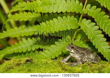 A Gray Treefrog crawling over a bed of moss near a vernal pool.
