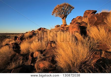 Desert landscape with golden grasses and a quiver tree (Aloe dichotoma), Namibia