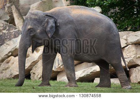 Young Indian elephant (Elephas maximus indicus). Wildlife animal.
