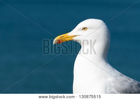 Seagull bird with blue sea background.