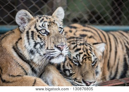 View of tigers inside the Tiger Kingdom in Chiang Mai province. You can interact, play and click photos with the tigers in Tiger Kingdom. A couple of hours trip is sure to help you befriend the wild cats.