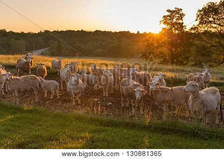 A flock of sheep at sunrise waiting for feed