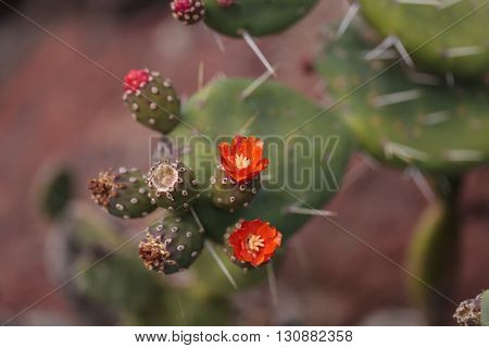 Small red Opuntia quitensis cactus flowers bloom in a desert in Peru