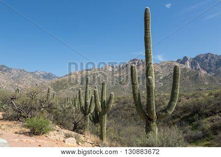 Saguaro cacti line the hills of Tucson's Catalina State Park
