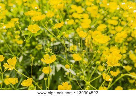 Ranunculus Acris L..