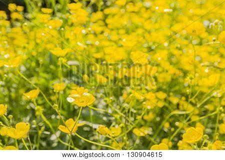 Ranunculus Acris L. - Yellow Flower.