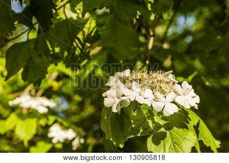 Flower Viburnum Sargentii.