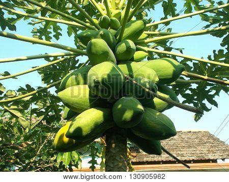 Old papaya fruits hanging on the papaya tree on papaya garden. Green papaya and yellow papaya.