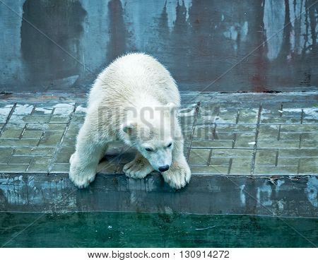 small polar bear cub try jump to water