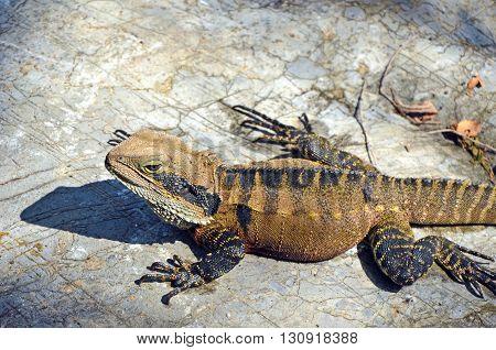 Male Australian eastern water dragon sunning itself