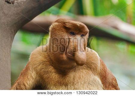 Proboscis monkey in park - animal background