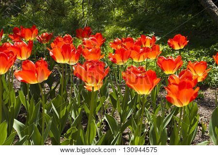 Beautiful spring orange tulip flowers are growing in the garden