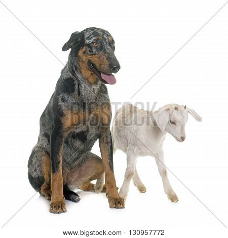 female harlequin beauceron and kid in front of white background
