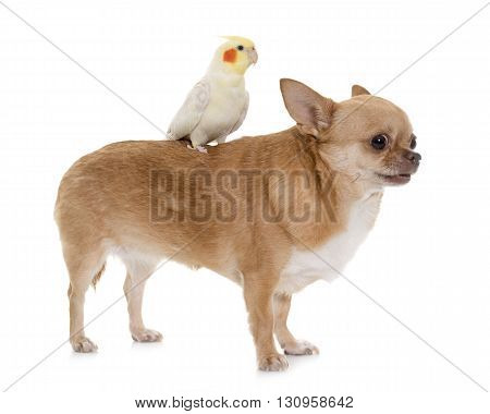 purebred chihuahua and cockatiel in front of white background