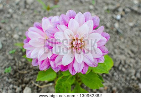 Purple Flower Of An Aster In Spring