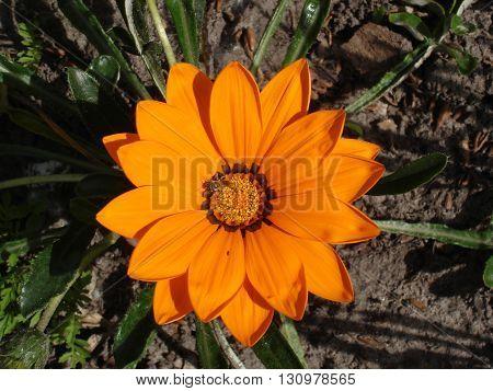 Lone orange with brown stripes gazania flower with bee.