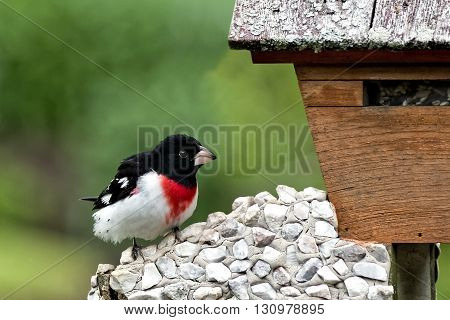 A male Rose-Breasted Grosbeak (Pheucticus ludovicianus) perched on a bird feeder.
