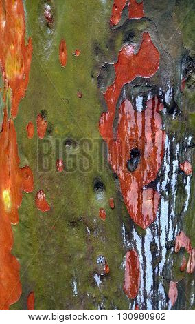 Colorful bark of an Australian gumtree in the rain