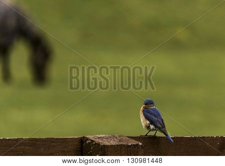 A male eastern Bluebird, (Sialia Sialis) sitting on a fence rail, with a blurred image of a horse in the background.