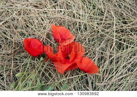 big red poppy on the hay. photo