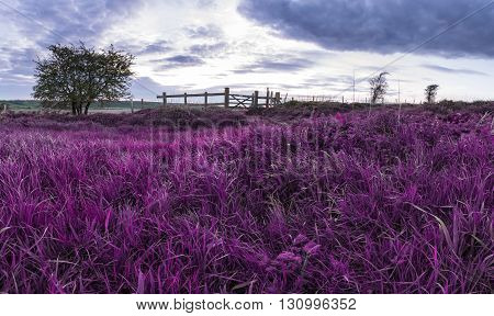 Beautiful English Countryside Landscape Over Fields At Sunset With Surreal Purple Tint Concept