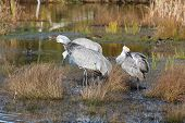Sandhill Cranes preen their feathers in a wetland marsh on the Reifel Bird Sanctuary. poster
