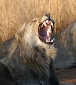 a young male lion growls in pilansburg south africa. poster