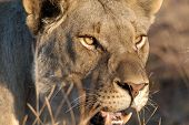 a lioness hunts in the grasslands of pilansburg south africa. poster