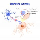Structure of a typical chemical synapse. neurotransmitter release mechanisms. Neurotransmitters are packaged into synaptic vesicles transmit signals from a neuron to a target cell across a synapse. poster