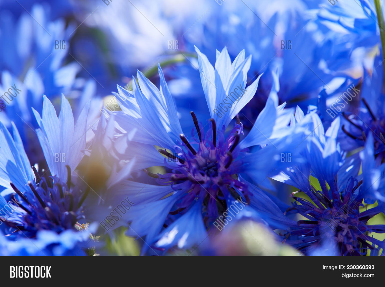 Blue Flowers Of Cornflowers Powerpoint Template Blue Flowers Of