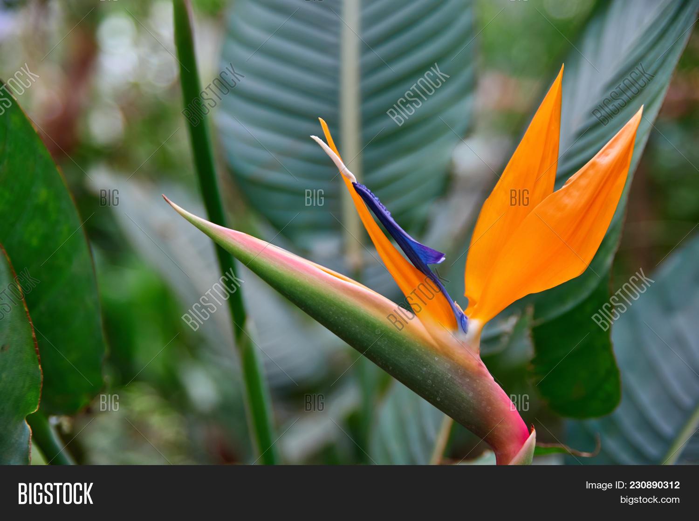 Beautiful exotic image photo free trial bigstock beautiful exotic flower royal strelitzia reginae surrounded green leaves orange and dark blue flowe izmirmasajfo