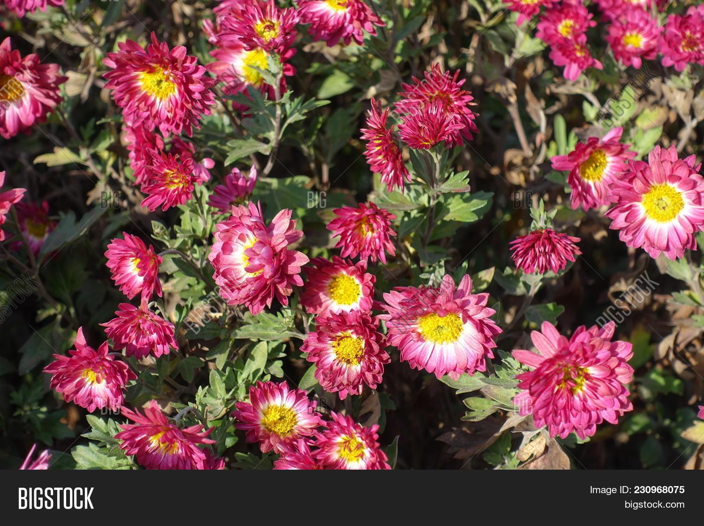 Pink white daisy like flowers image photo bigstock pink and white daisy like flowers of chrysanthemum izmirmasajfo