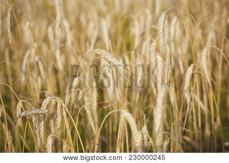 Wheat Spikelets, Cereal Grain, Seeds, Agriculture. Field Of Golden Wheat, Ripe, Harvest. Harvest Sea