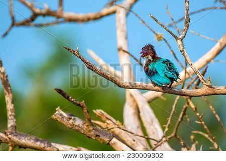 White-throated Kingfisher Or Halcyon Smyrnensis In Wild Nature
