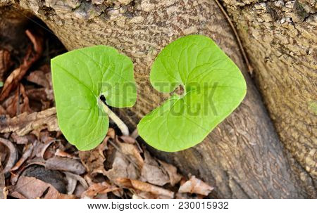 Bright Green Leaves Of Emerging Wild Ginger Plant In A Spring Forest