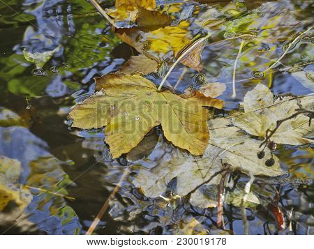 Withered Leaf Of A Maple Tree Floats On The Water In Autumn