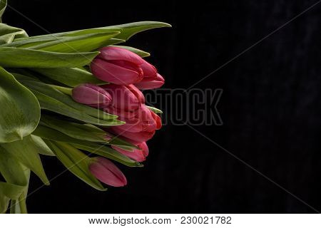 Spring Red Tulips Flower Isolated On Black Background Close Up