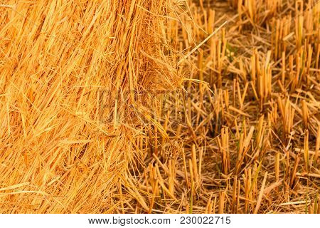 Close-up Of A Hay Cylindrical Bale In A Farmland  /particularly The Intricacy Of Grain Plants That F