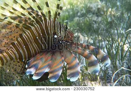Fish Lionfish In Algae At The Bottom