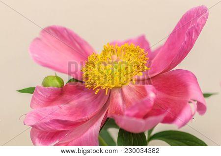 Yellow Center Of Pink Peony. Close Up. Large Pink Petals.