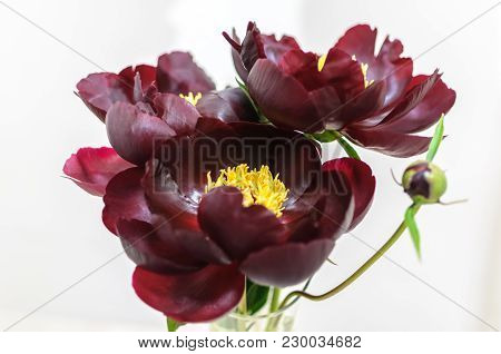 Peony Flower Of Dark Burgundy Color On White Background.