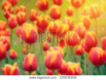 Closeup Spring Blur Nature Landscape. Colorful Red And Yellow Tulips Blooming Under Sunlight. Blurre