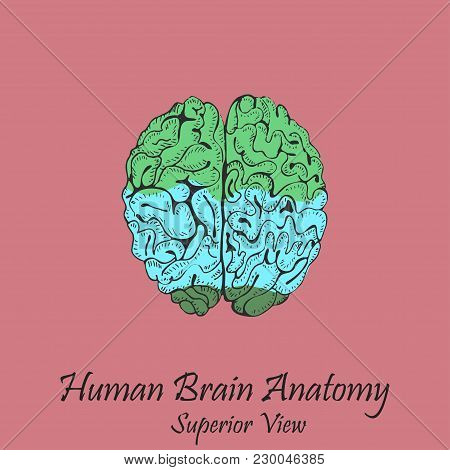 Hand Drawn Coloured Human Brain In Superior View On The Pink Background With The Inscription. Human