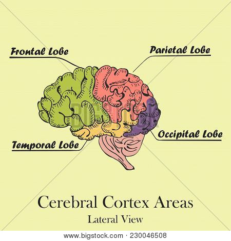 Hand Drawn Coloured Human Brain On The Color Background With The Caption Of Brain Areas Or Lobes. Ce