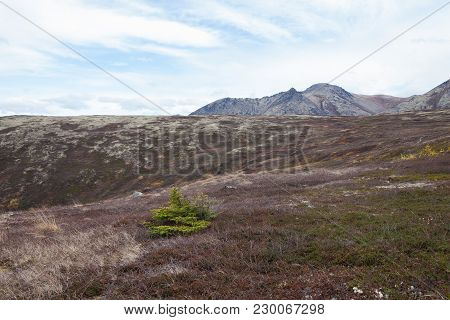 A Lone Pine Tree In The Mountains Of Alaska. The Evergreen Tree Is Green, The Sky Is Blue, With Whit