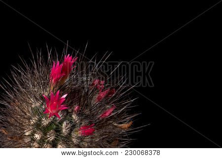 Cactus Blooms Colorful Red Flowers Isolated On Black Background. Gorgeous Flowering Cacti Magnificen